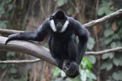 Gibbon, der auf einem Baumast sitzt Lizenzfreie Stockfotografie