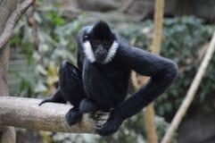 Gibbon, der auf einem Baumast sitzt Stockfotos