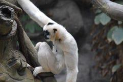 Gibbon, der auf einem Baumast sitzt Lizenzfreies Stockfoto