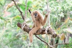 Gibbon, der auf einem Schwingen sitzt. Stockfotografie