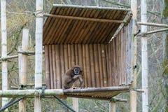 Gibbon, der auf einer hölzernen Plattform sitzt lizenzfreie stockfotografie