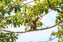 Gibbon, der auf einer Niederlassung des Baums im Wald sitzt Stockfotos