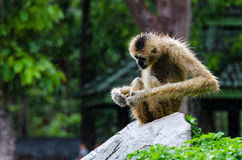Gibbon, der auf Felsen sitzt Stockbilder