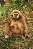 Gibbon, der aus den Grund sitzt Lizenzfreie Stockbilder