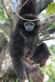 Gibbon, der in einem Baum hängt Stockbild