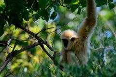 Gibbon, der heraus in einem Baum hängt Stockbilder
