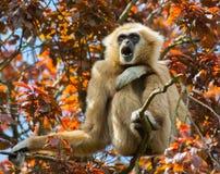 Gibbon, der im Baum sitzt Stockbilder