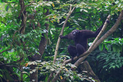 Gibbon di urlo Fotografie Stock