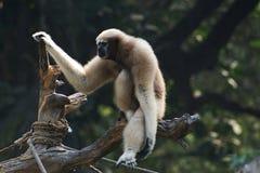 Gibbon di Whitebrowed o di Hoolock Fotografia Stock Libera da Diritti
