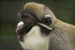 Gibbon die aan de linkerzijde kijken stock afbeeldingen