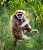 Gibbon die aan kijker staart Royalty-vrije Stock Foto's