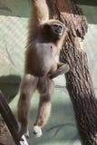 Gibbon do Lar Imagens de Stock
