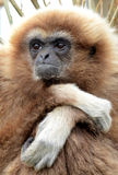 Gibbon do Lar Foto de Stock Royalty Free