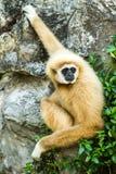 Gibbon en el chiangmai Tailandia del parque zoológico del chiangmai Foto de archivo libre de regalías
