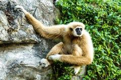 Gibbon en el chiangmai Tailandia del parque zoológico del chiangmai Fotografía de archivo