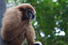 Gibbon en parque zoológico Imagenes de archivo