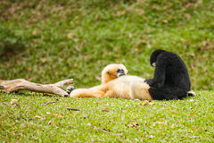 Gibbon Stock Images