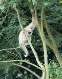 Gibbon-Fallhammer stockfotografie