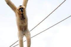 Gibbon-Fallhammer, der am Seil hängt Stockbilder