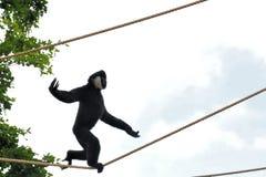Gibbon-Fallhammer-Drahtseil-Gehen Stockfoto