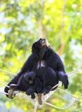 Gibbon-Familie Stockbild