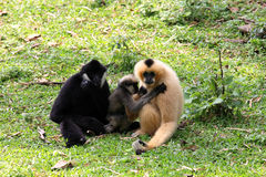 Gibbon family together Stock Photos