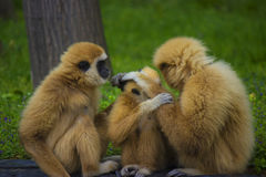 Gibbon family. White handed gibbon family in a zoo - animal pfotography Royalty Free Stock Photo