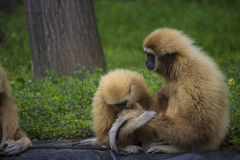 Gibbon family. White handed gibbon family in a zoo - animal pfotography Stock Image