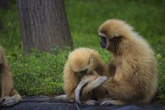 Gibbon family Stock Image
