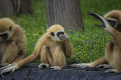 Gibbon family. White handed gibbon family in a zoo - animal pfotography Royalty Free Stock Photography