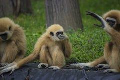 Gibbon family Royalty Free Stock Photography