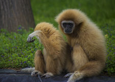 Gibbon family. White handed gibbon family in a zoo - animal pfotography Stock Photo