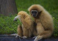 Gibbon family Stock Photo
