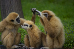Gibbon family. White handed gibbon family in a zoo - animal pfotography Stock Photos