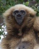 Gibbon Gabbing fotografía de archivo libre de regalías