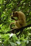 Gibbon, gelbe-cheeked Nomascus-gabriellae Stockbild