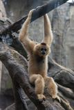 Gibbon-Hylobatidae. Gibbon: a generic term for primates and a family of 4 genera and 16 species. It is named because of its long arm. There are calluses on the Stock Image