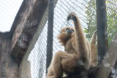 Gibbon-Hylobatidae. Gibbon: a generic term for primates and a family of 4 genera and 16 species. It is named because of its long arm. There are calluses on the Royalty Free Stock Image