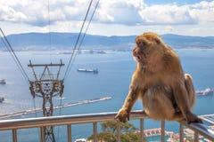 Gibbon Gibraltar Rock Royalty Free Stock Photography