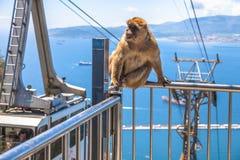 Gibbon Gibraltar Rock Stock Photography