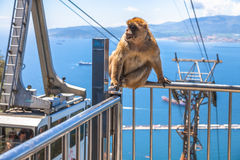 Gibbon Gibraltar skała Fotografia Stock