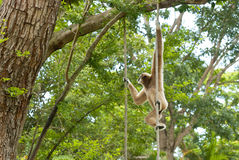 Gibbon of golden cheeks. Precious specimen of Gibbon of golden cheeks Royalty Free Stock Photos