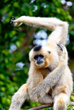 Gibbon of golden cheeks, Nomascus gabriellae. Precious specimen of Gibbon of golden cheeks Royalty Free Stock Image