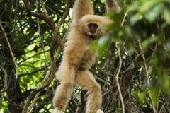 Gibbon hängde Arkivbild