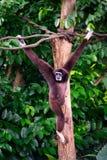 Gibbon hängt von den Baumasten Stockfotografie