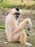 Gibbon-Haltung Lizenzfreie Stockbilder