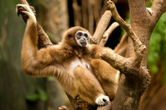 Gibbon. Hanging Out in a Tree Stock Photos