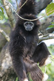 Gibbon Hanging in a Tree. A white hand Gibbon hanging in a tree and looking at the camera. Many Gibbons come from Southeast Asia stock image