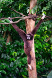 Gibbon Hangs from Tree Branches Stock Photography