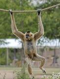 Gibbon, Hylobates, hängt von einem Seil Lizenzfreie Stockbilder
